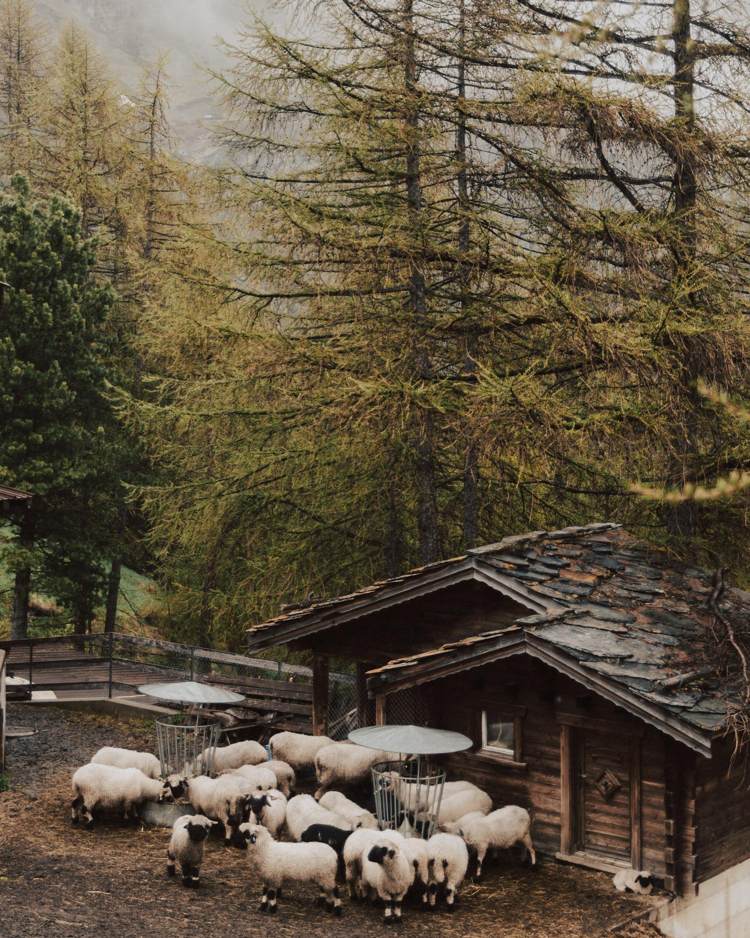 Söta svartnosfår i Zermatt