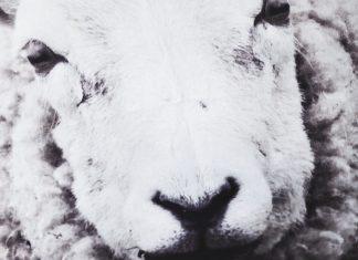 Kuddfodral med får (fotoprint)
