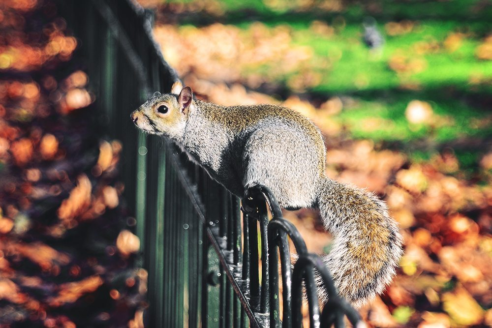 Squirrel - St. James's Park