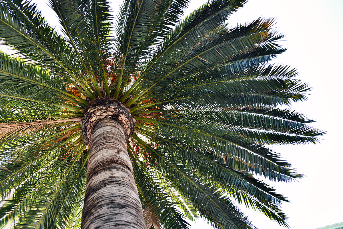 Palm tree in Hollywood