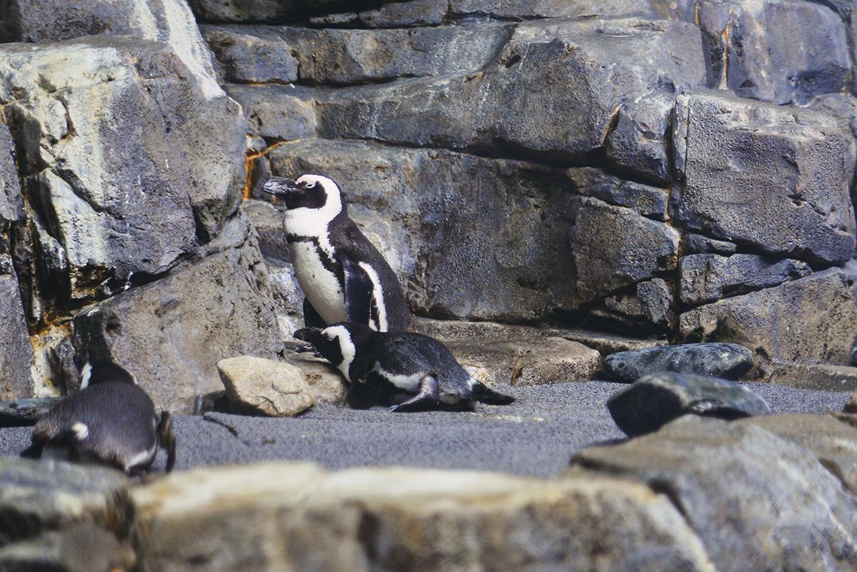 Monterey Penguin