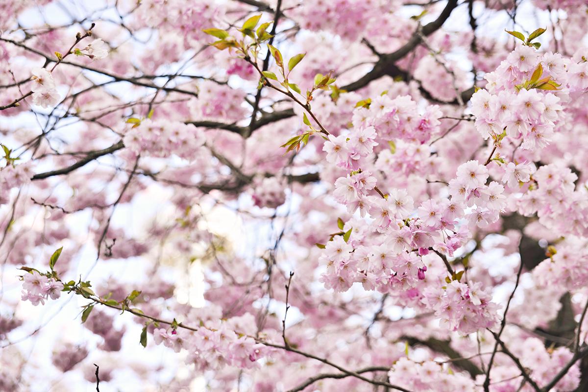 Cherry blossoms - Kungsträdgården