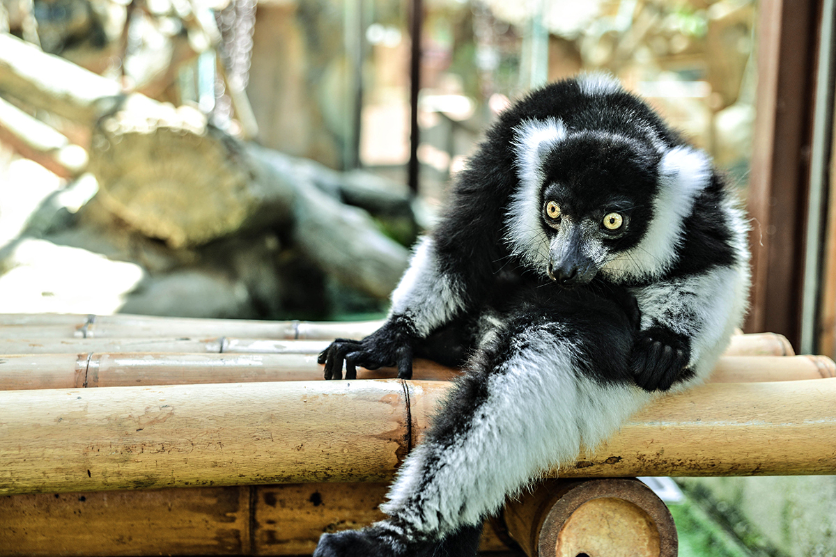 Encounter with lemurs in Spain