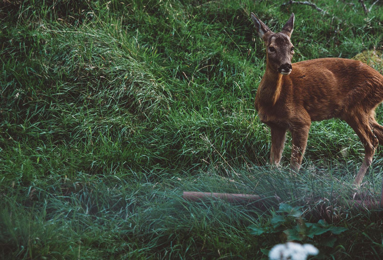 Deer in Scotland