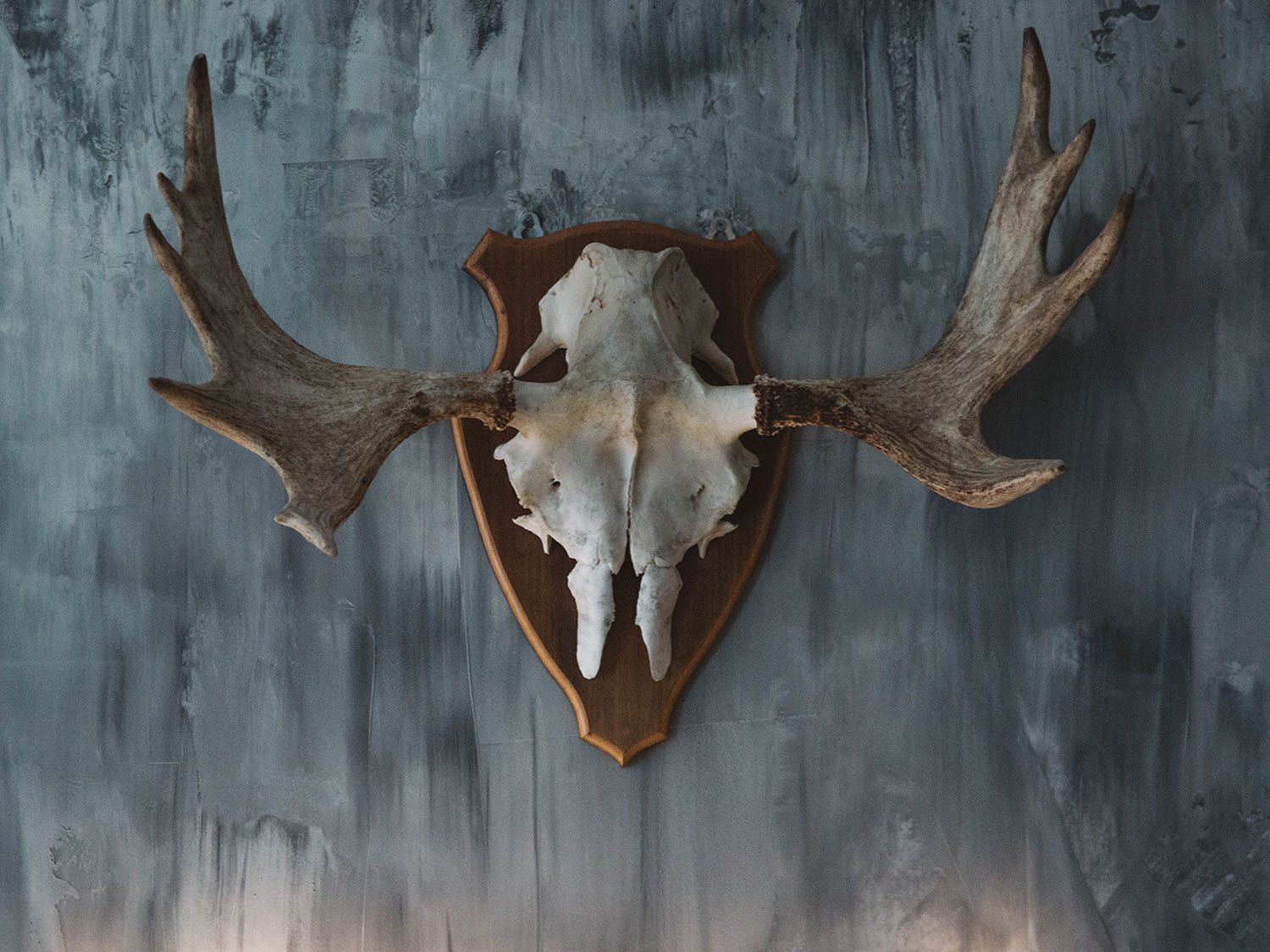 Mounted moose skull on fake concrete wall