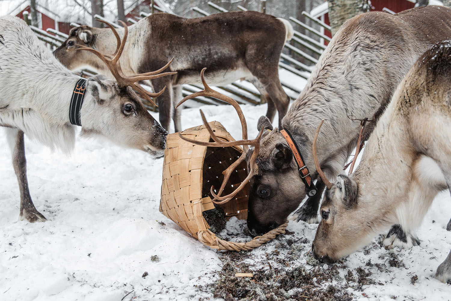 Reindeers at the farm Poro-Panuma eating from basket