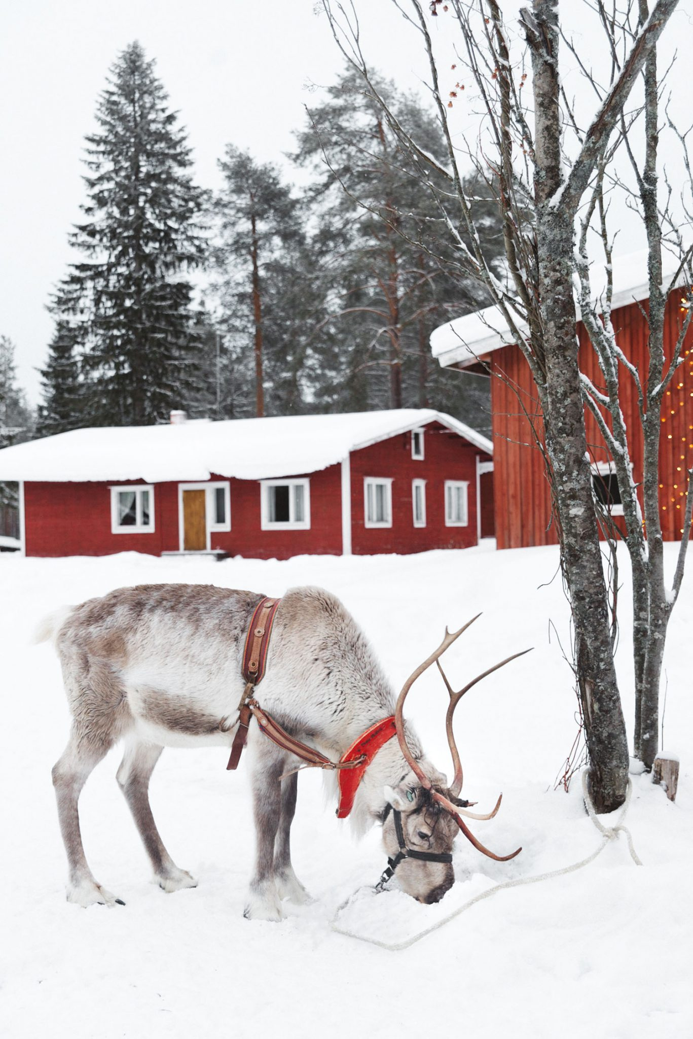 Reindeer in Finland eating at farm - with traditional red Finnish houses in the background