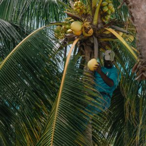 Picking coconuts in Jamaica