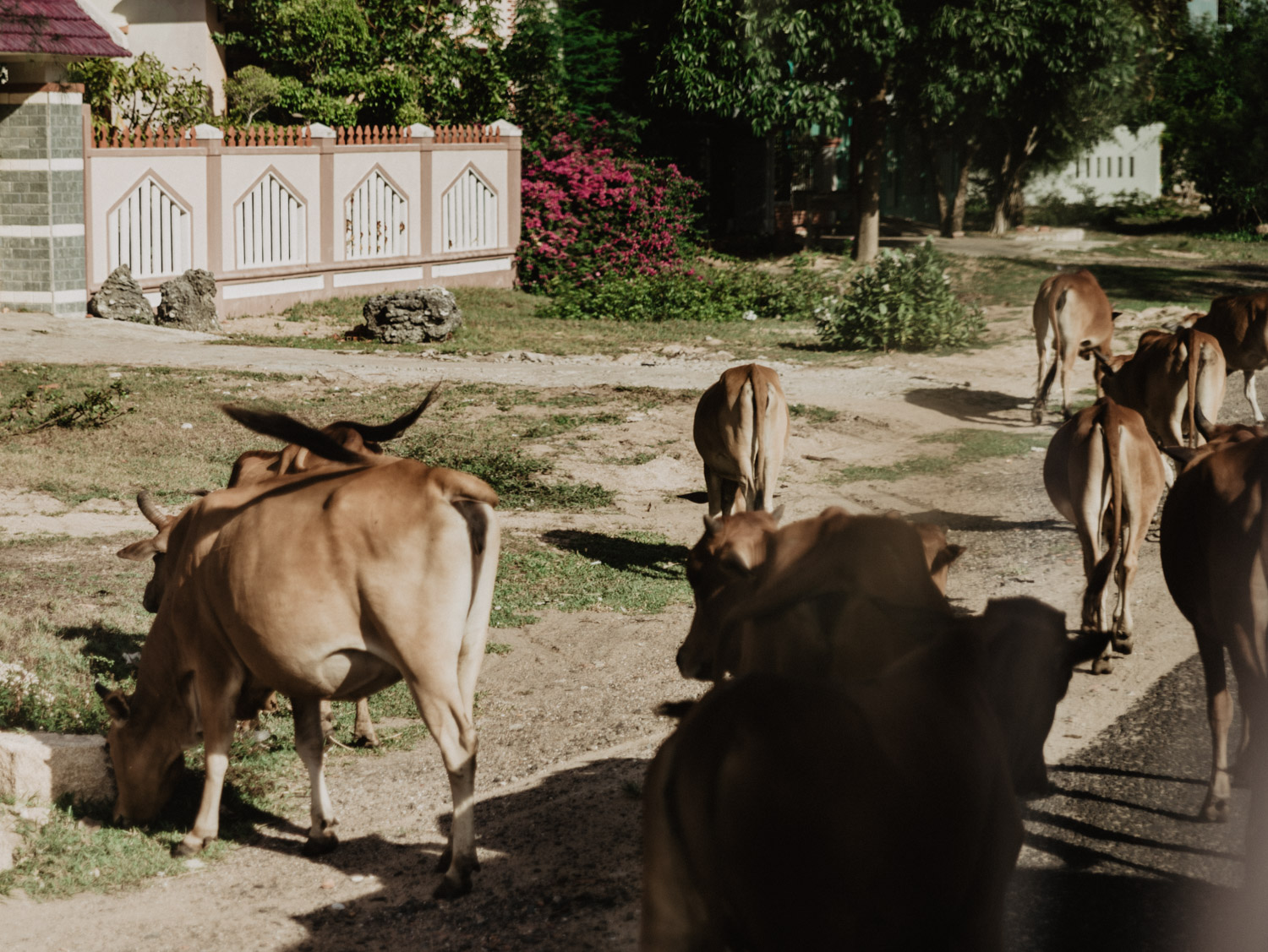 Cows on the road in Phu Yen, Vietnam