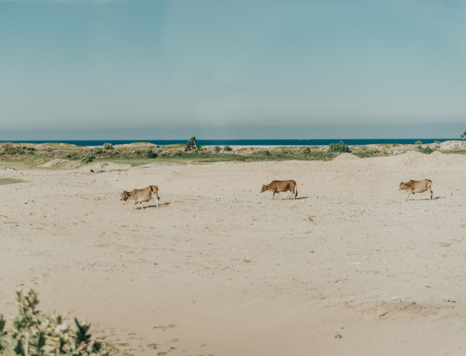 Cows on the beach in Phu Yen, Vietnam