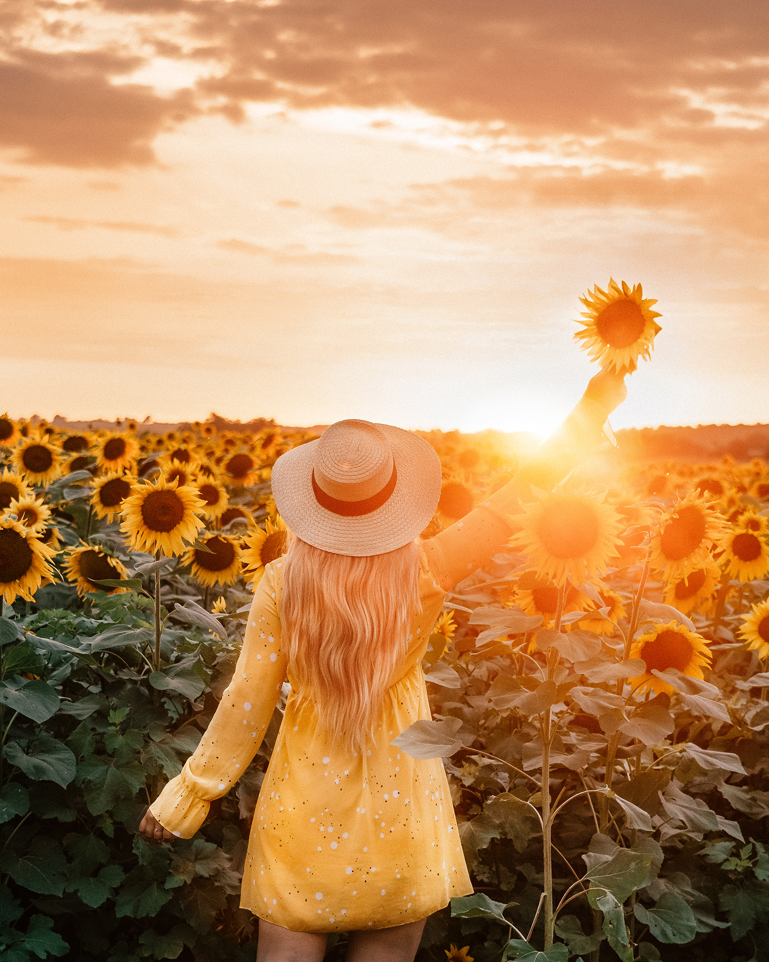 Sunflower field in sunset in Karanac | Things to Do in Slavonia, Croatia