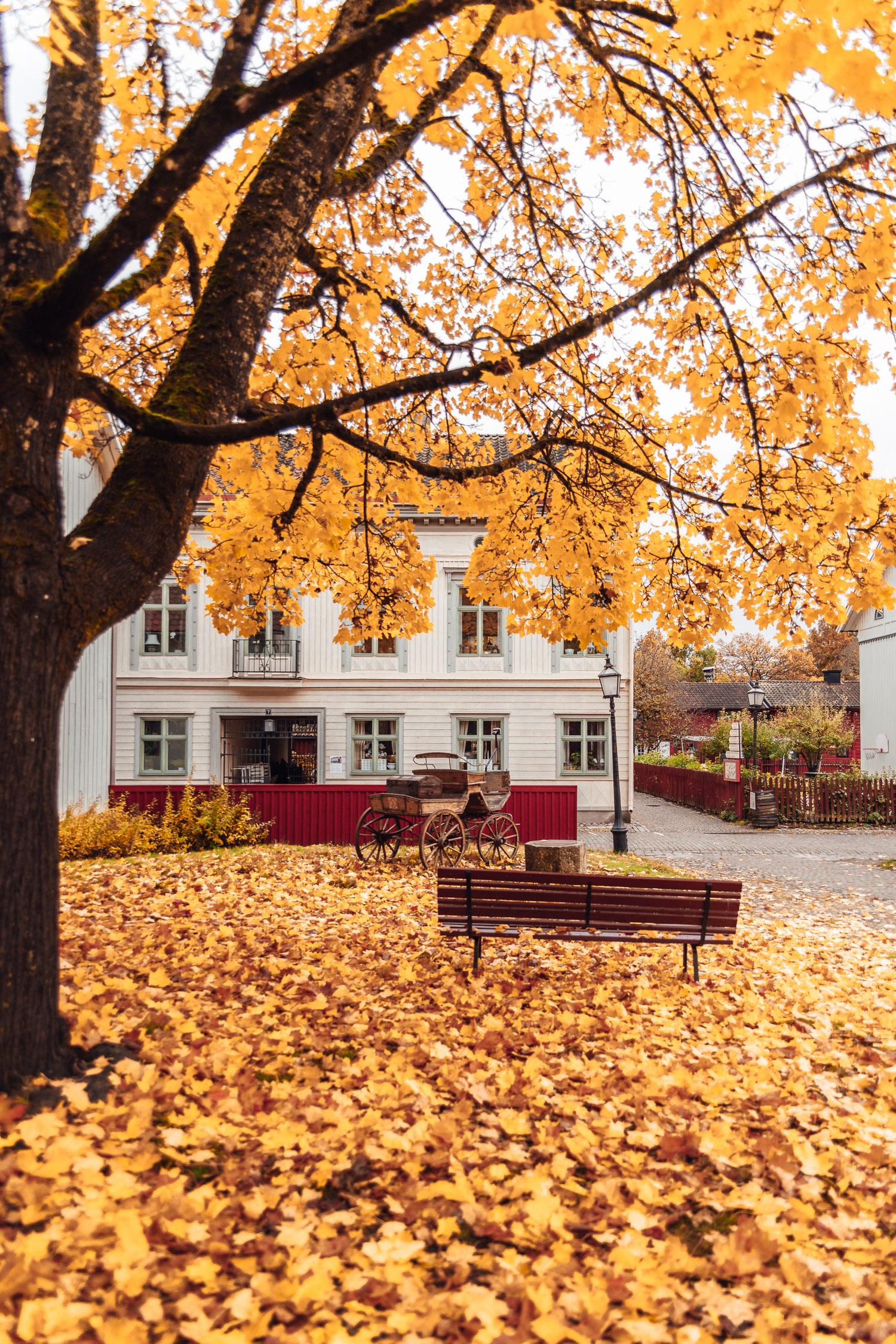Marken är vackert täckt med gula lönnlöv i Wadköping