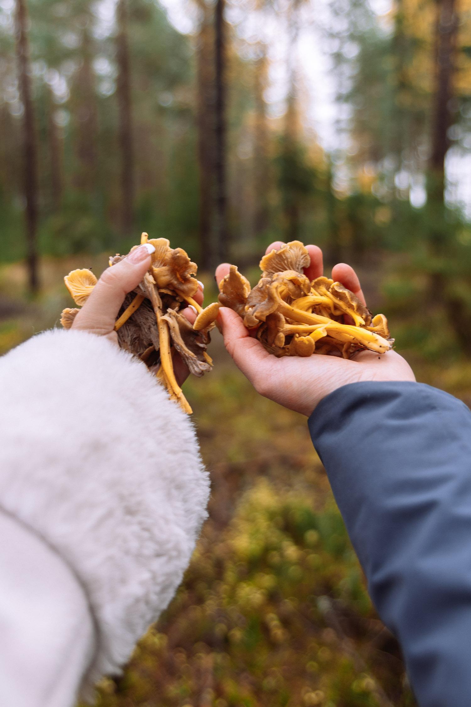 Färska kantareller plockade i Brevens Bruks skog i Örebro
