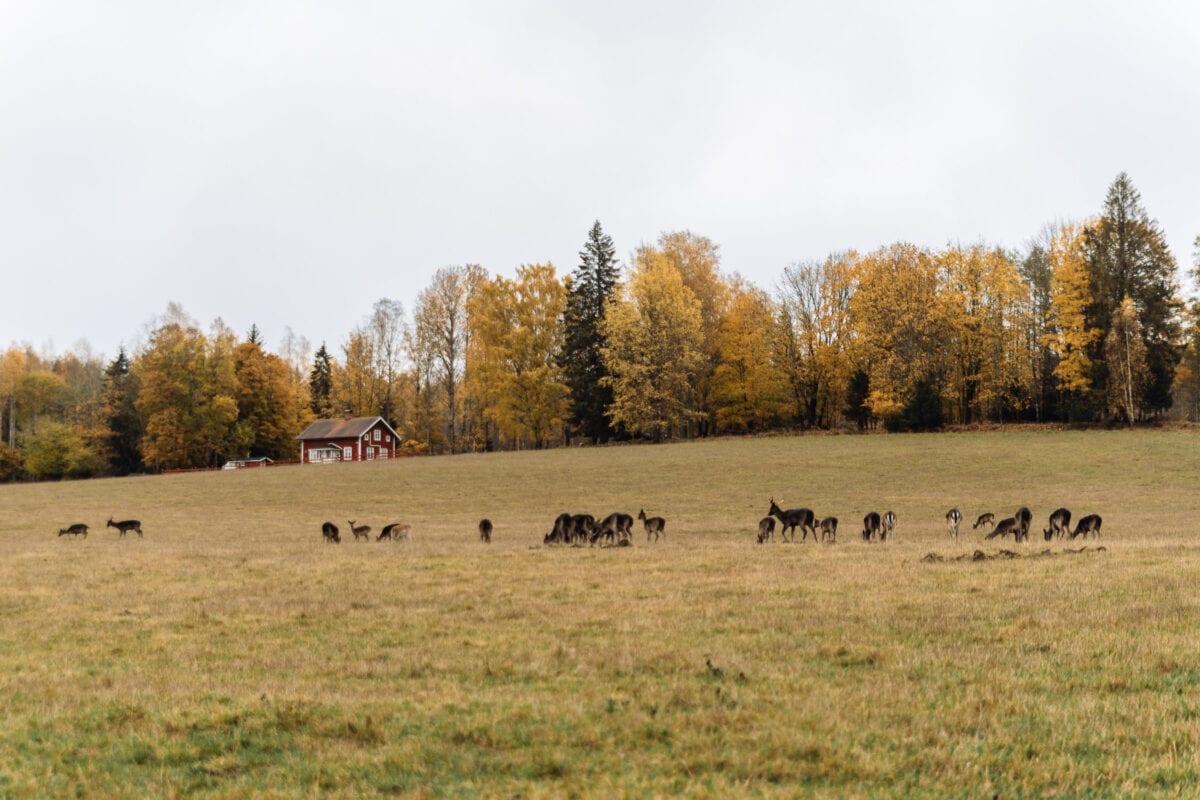 Dovhjortar på gräsäng i Brevens Bruk, Örebro