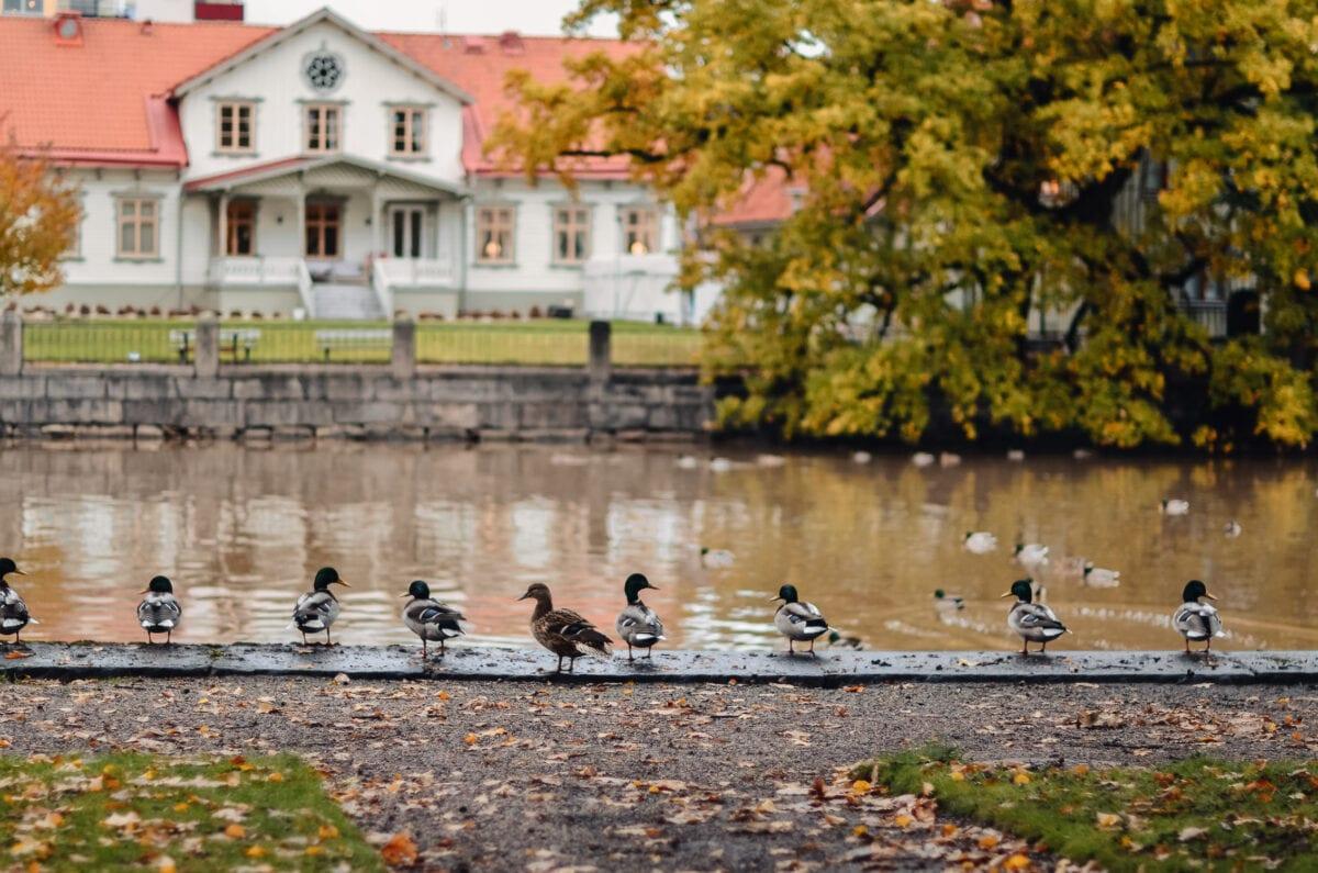 Duvor uppradade längs Svartån i stadsparken i Örebro