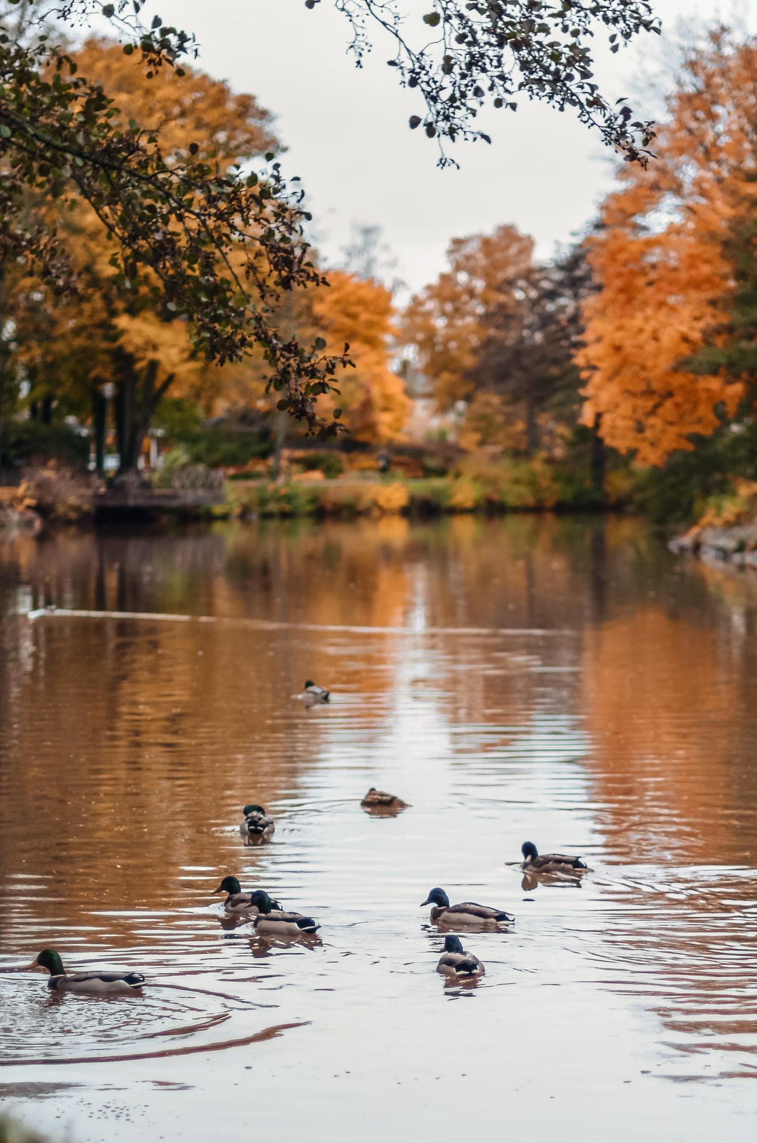 Duvor som simmar i Svartån som speglas av färgglada höstlöv i Örebro