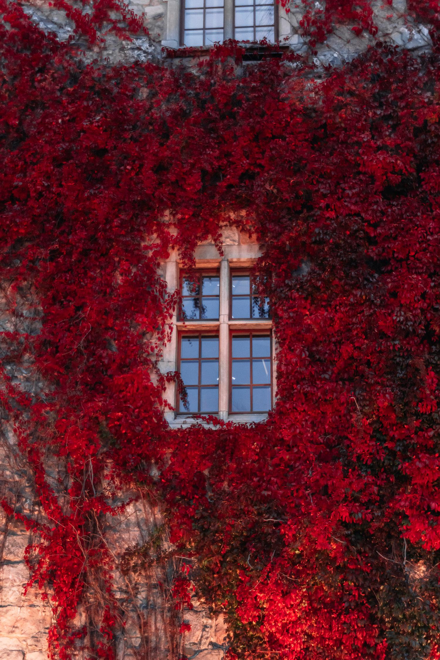 Närbild på Örebro slotts fönster omringat av röda klätterväxter som täcker slottsväggen