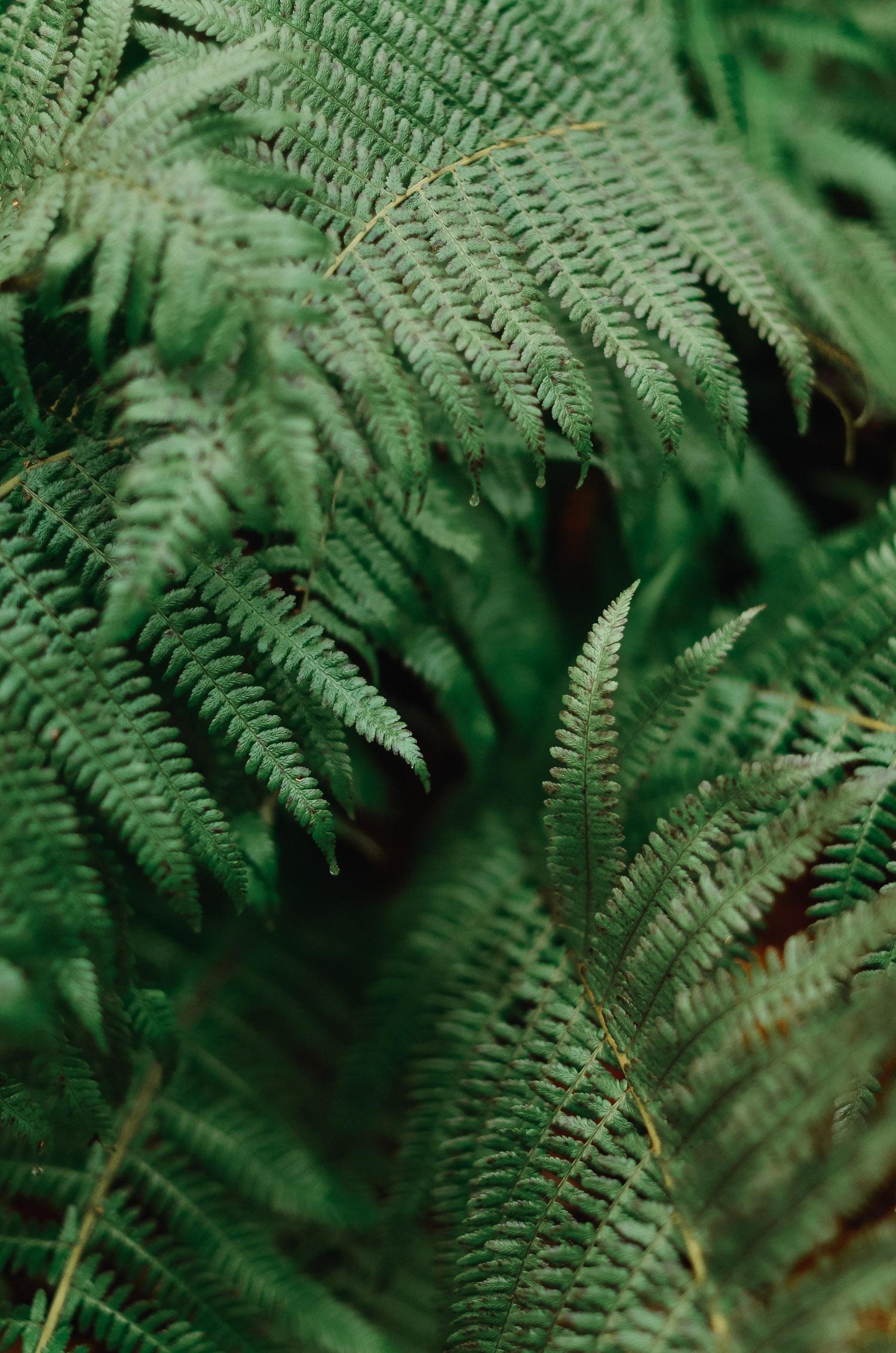 Närbild på ormbunkar i Garphyttans nationalpark